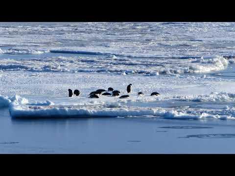McMurdo Penguins in 4k