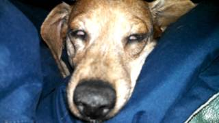 Lucy the Dachshund snoring! Creepy! Try not to laugh!