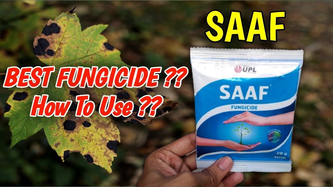 Download How To Use Saaf Fungicide On Plants In Hindi   Best Fungicide   Carbendazim 12% + Mancozeb 63% WP