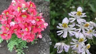 Как правильно выращивать схизантус из семян дома?