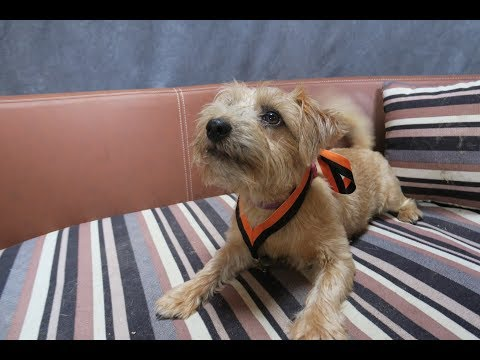 Rosie - Norfolk Terrier Puppy - 3 Weeks Residential Dog Training