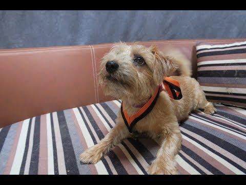 Rosie - Norfolk Terrier Puppy - 3 Weeks Residential Dog Training