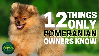12 Things Only Pomeranian Dog Owners Understand