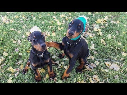 2 European Doberman Puppies for Sale - Aero & Apollo at 11 weeks