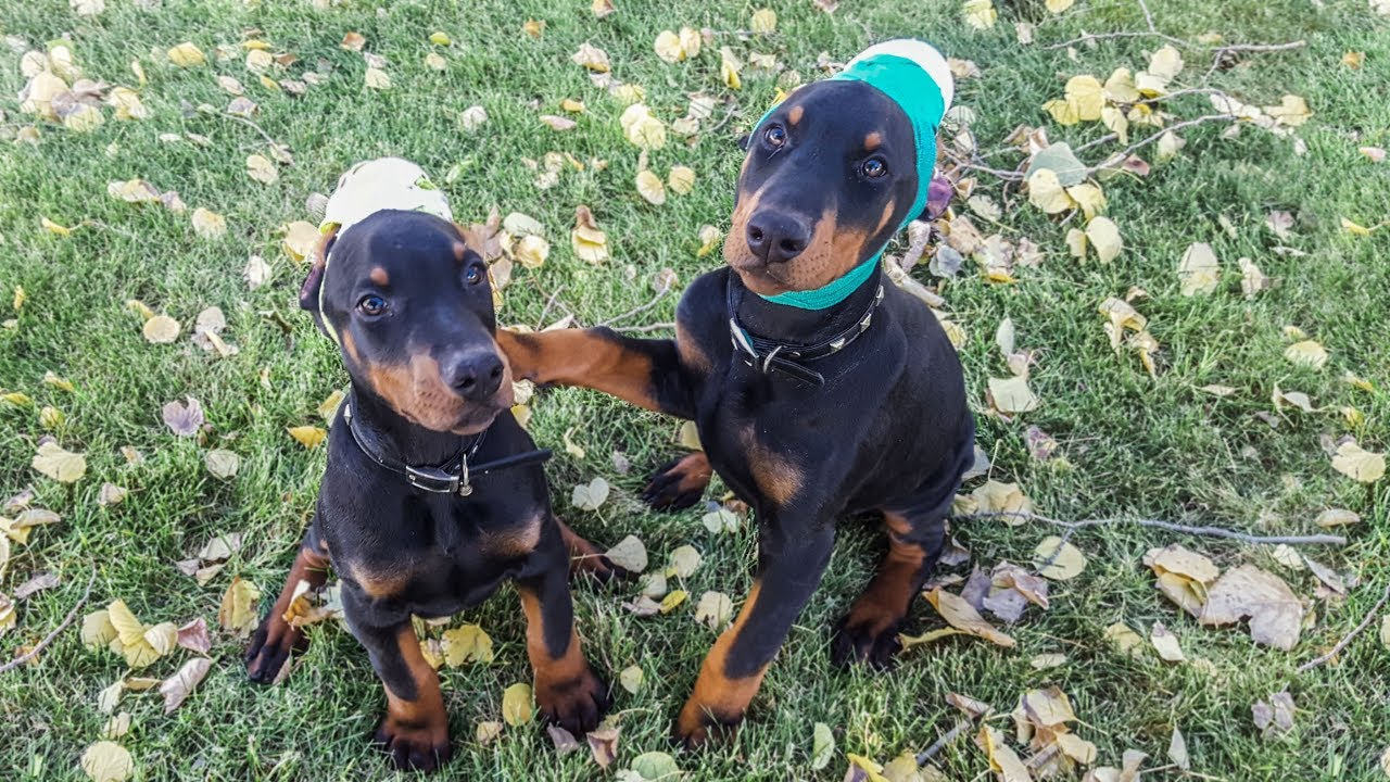 2 European Doberman Puppies For Sale Aero Apollo At 11 Weeks