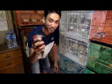 SURVEY HARGA BURUNG DI PASAR PRAMUKA PART 1 (Satu)