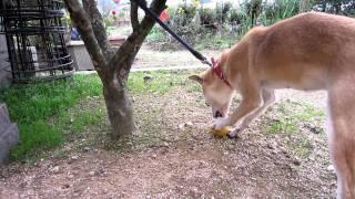 美味しそうに二十世紀梨を食べる山陰柴犬リン。