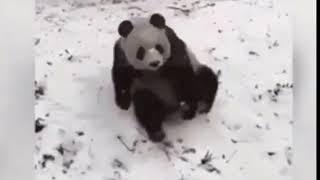 Панда забавно флэксит (смешные видео с животными, лучшие приколы)