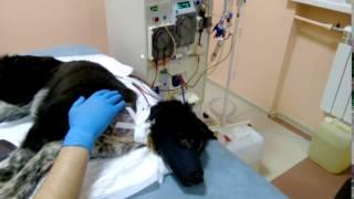 Гемодиализ для собак и кошек. Собака метис Барсик почечная недостаточность