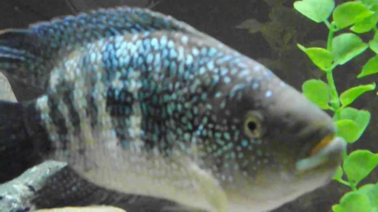 How to sex a dempsey cichlid