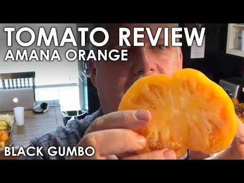 Tomato Review: Amana Orange || Black Gumbo