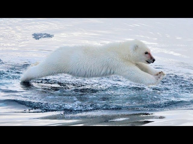 Polar Bears Swimming: To The Arctic IMAX 3D - YouTube