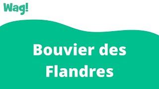 Bouvier des Flandres | Wag!
