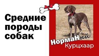 Средние породы собак Курцхаар.