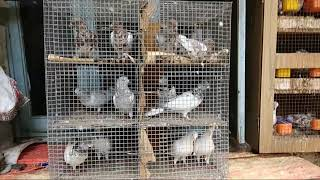 Pigeon for Sale (Part 2) @ SA Pigeon Loft contact at 8356865561- SOLD OUT