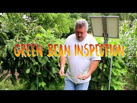 Green Beans - Fortex - Heirloom