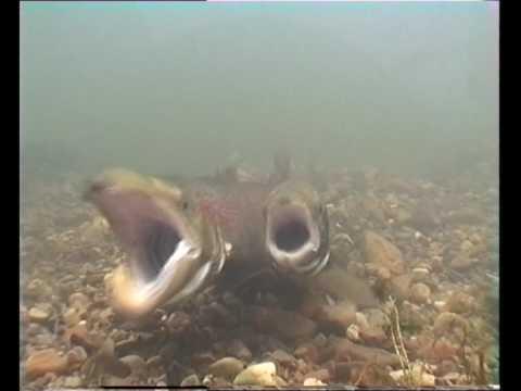 Atlantic Salmon Spawning Act (desove De Salmon Atlantico)