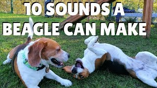 10 Sounds a Beagle can make