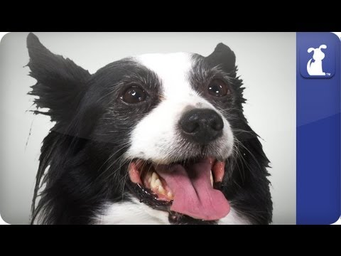 Papillon - Doglopedia