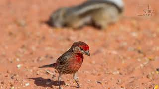 House Finch   The house finch is one of the most common bird species in all of North America.