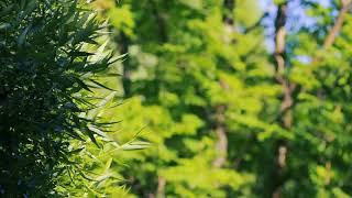 Рядом с ивой в лесу | Футажи красивая природа [FullHD]