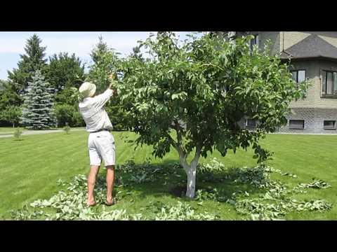 Летняя обрезка яблони Белый Налив | низкокронных | сдерживание | формировка | обрезка | деревье | яблоня | яблони | летняя | летом | кроны
