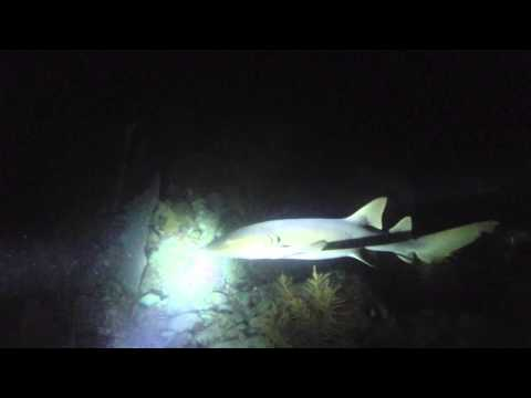 Night Dive - Conch Reef Oct 1 2014