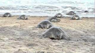 Olive Ridley Turtles - mass nesting on the beaches of Orissa, along the Bay of Bengal