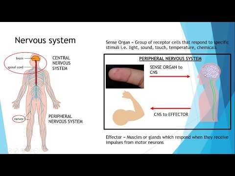 IGCSE BIOLOGY REVISION [Syllabus 14] Nervous System