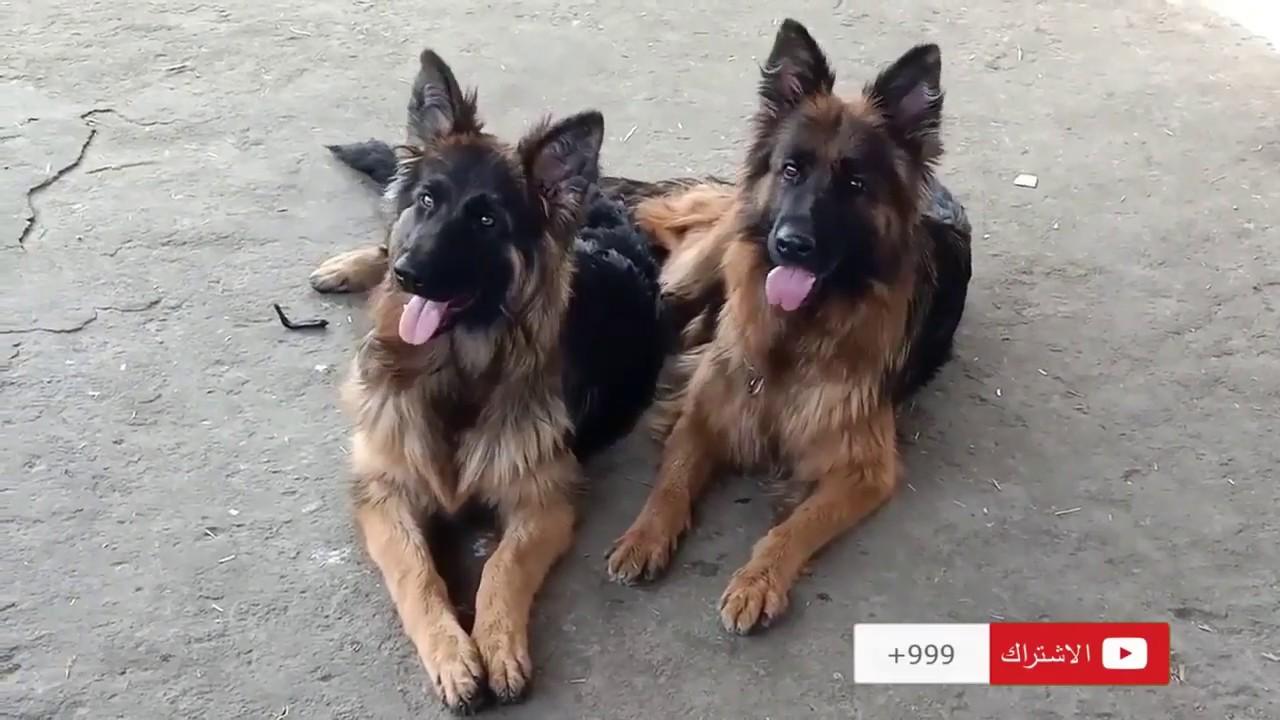 كلاب جيرمن شيبرد للبيع باسعار خيالية - YouTube