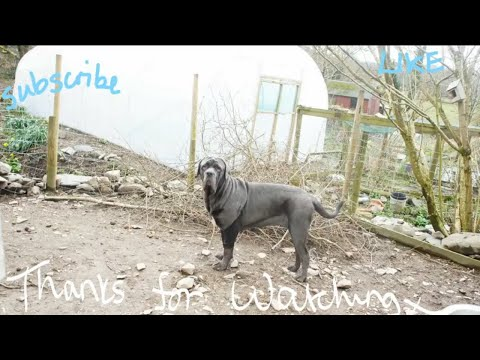 11 month old Neapolitan Mastiff Puppy - Dealing with a Hygroma