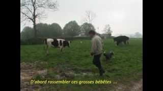 04_herding Dog Training On Cattle (tania Bearded Collie Girl) 2008