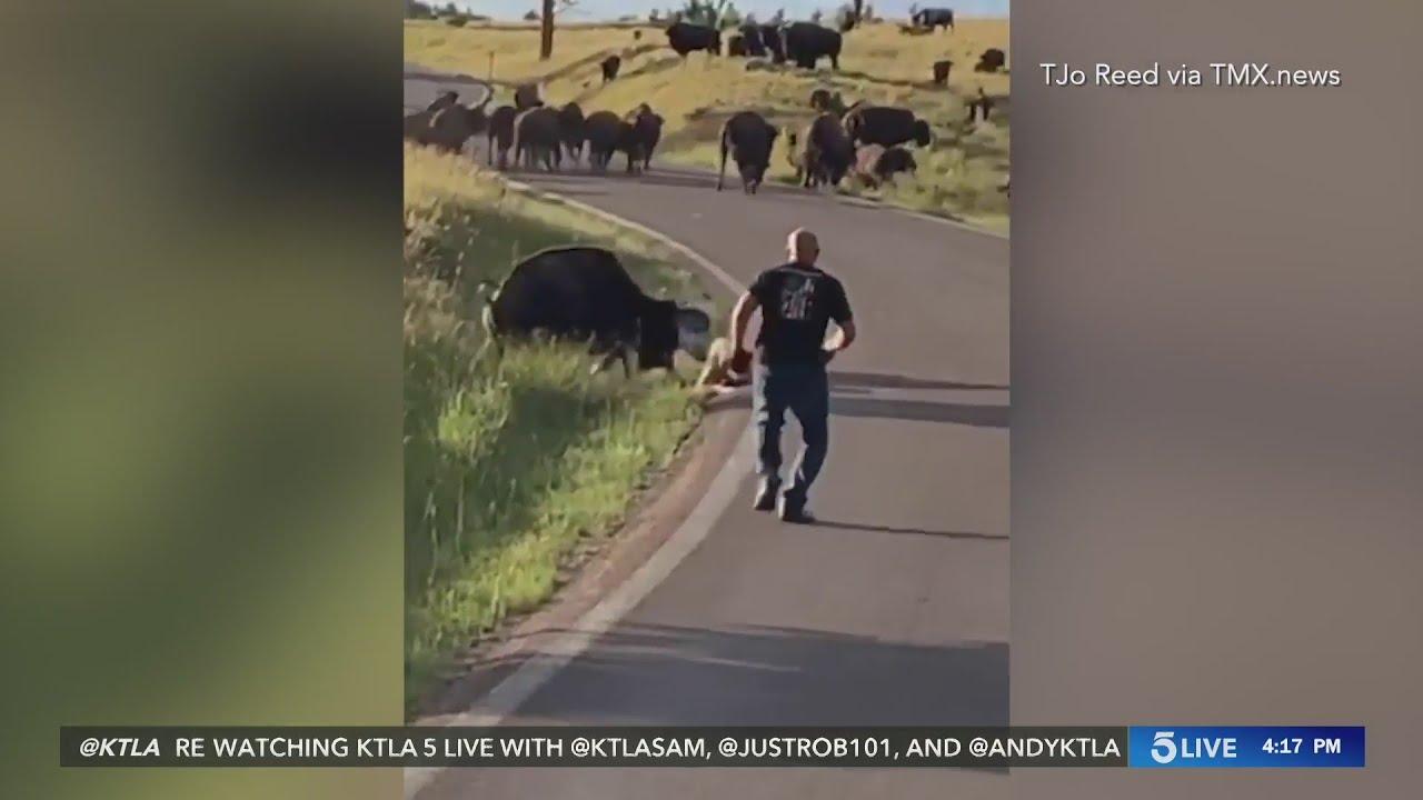 Download Bison attack causes South Dakota woman serious injuries