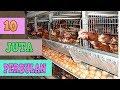 Ternak Ayam Petelur | Wajib Tonton Sebelum Memulai Usaha [ CARA & ANALISA ]