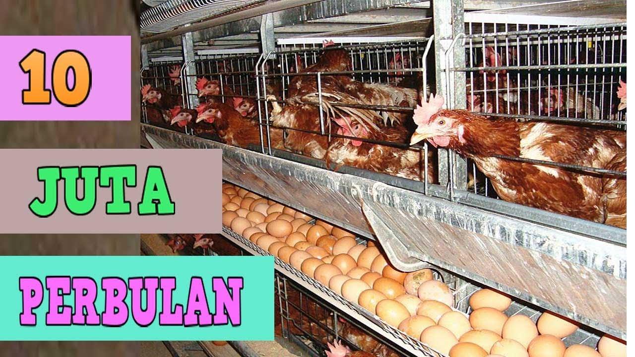 Ternak Ayam Petelur Wajib Tonton Sebelum Memulai Usaha Cara