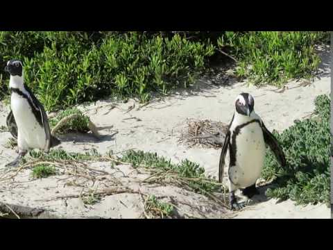Boulder Penguin Colony, South Africa