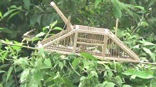 Download Video mikat burung menggunakan kandang jebakan dari pelepah pohon sagu MP3 3GP MP4