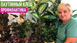 Подручные Профилактические СРЕДСТВА От ПАУТИННОГО КЛЕЩА. Мои цветы. Мой опыт.