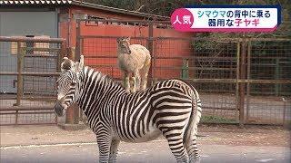 東伊豆町の動物園に、シマウマの背中に乗る子ヤギがいます。まるで、「...