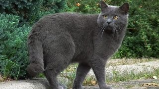 Картезианская кошка или Шартрез - настоящая француженка