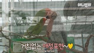 Male parrots in love, an unrequited love.