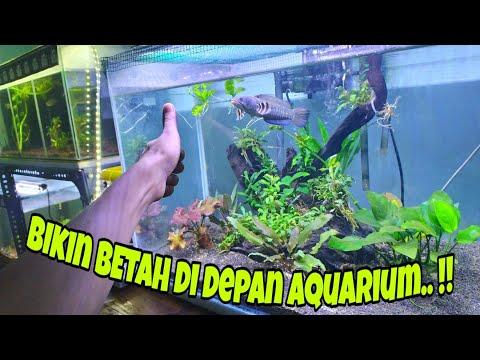 Setting Aquarium untuk Channa Pulchra
