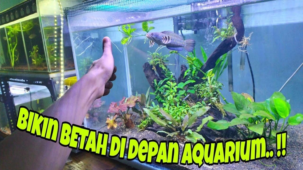 Setting Aquarium Untuk Channa Pulchra Youtube
