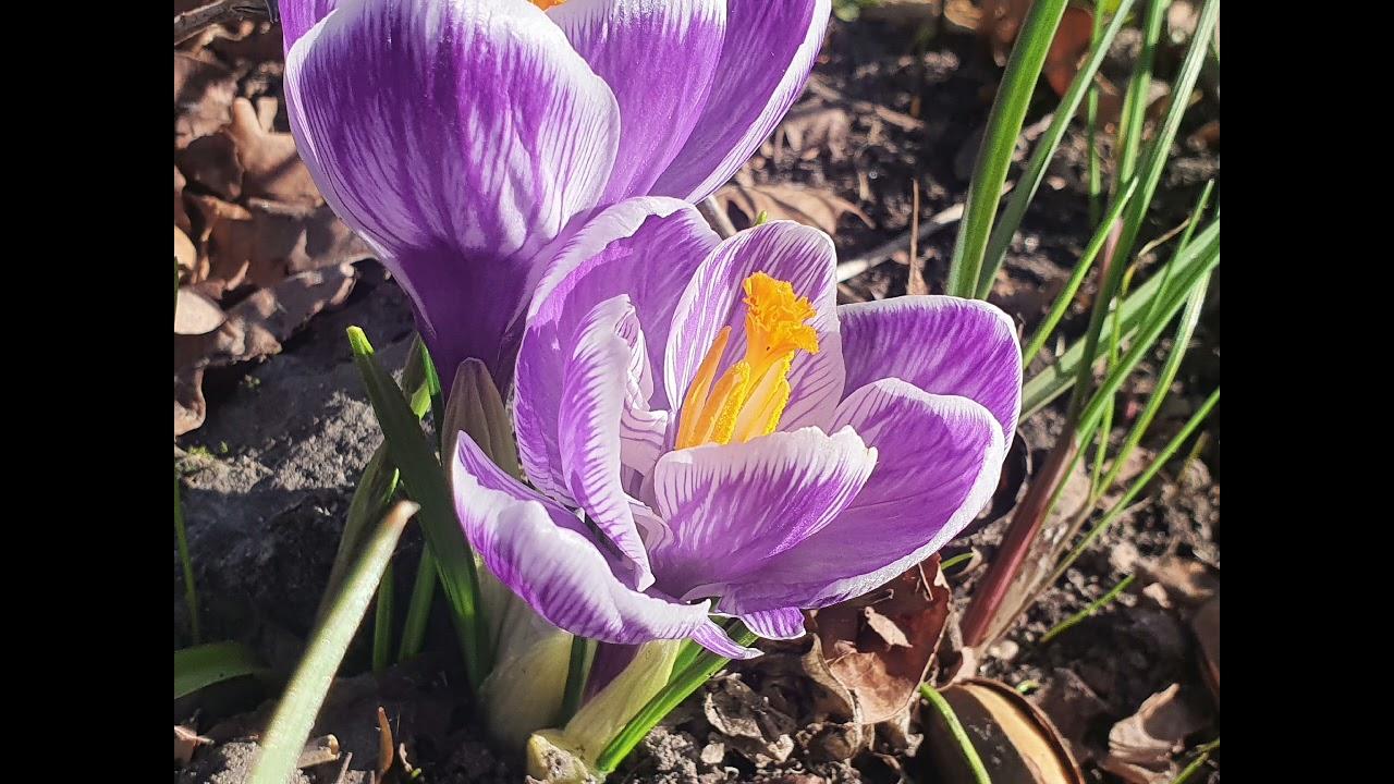Весна. Первые цветы. Подснежники. Флоксы. Тюльпаны. Красивые фотографии.
