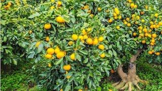 Como Adubar Planta Frutífera