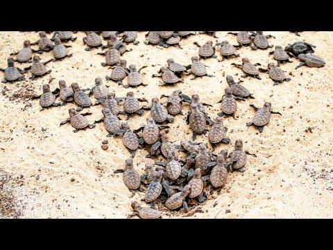 Hawksbill Sea Turtles Hatching