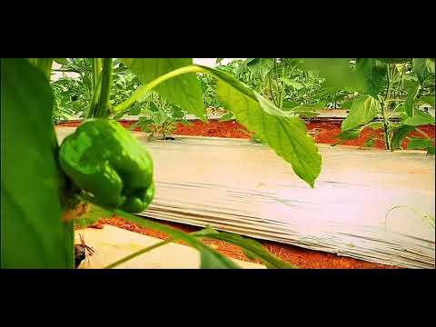 Organic Capsicum Farm Pune   सेंद्रिय पद्धतीने ढोबळी मिरची लागवड पुणे