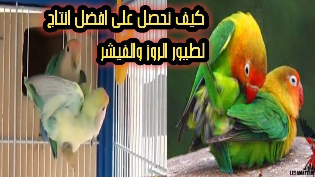 هاذا الصوت كفيل بأن يجعل طيور الروز والفيشر تتزاوج بأسرع وقت حفز طيورك على التزاوج Youtube