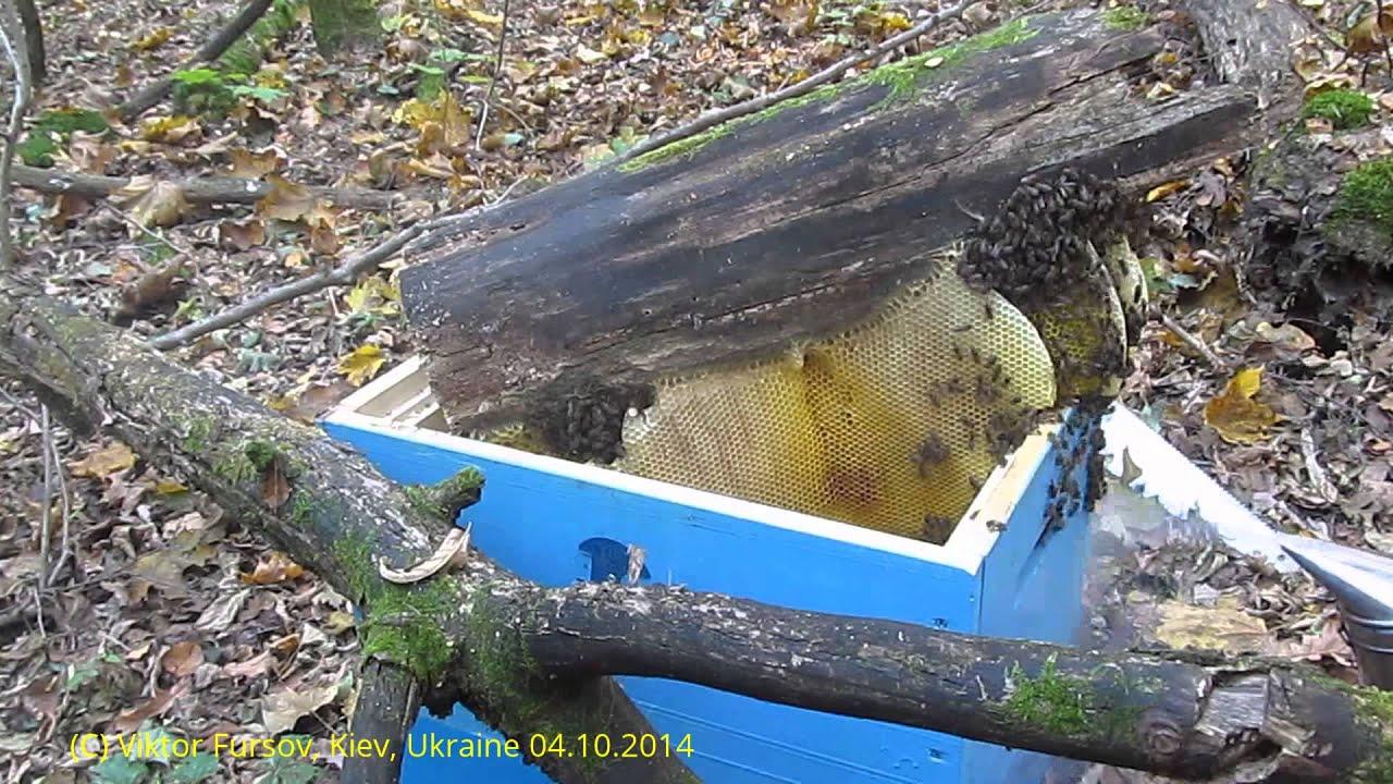14 мар 2016. Дважды в год охотники за медом из племени гурунг отправляются в центральную часть непала, чтобы собрать мёд диких пчел. На сбор меда ушло примерно часа три, пора сворачиваться:. Buy for 150 tokens.