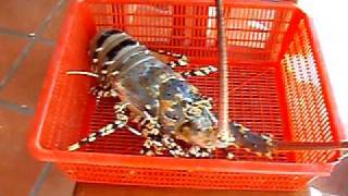 monster lobster in Mui Ne, Vietnam